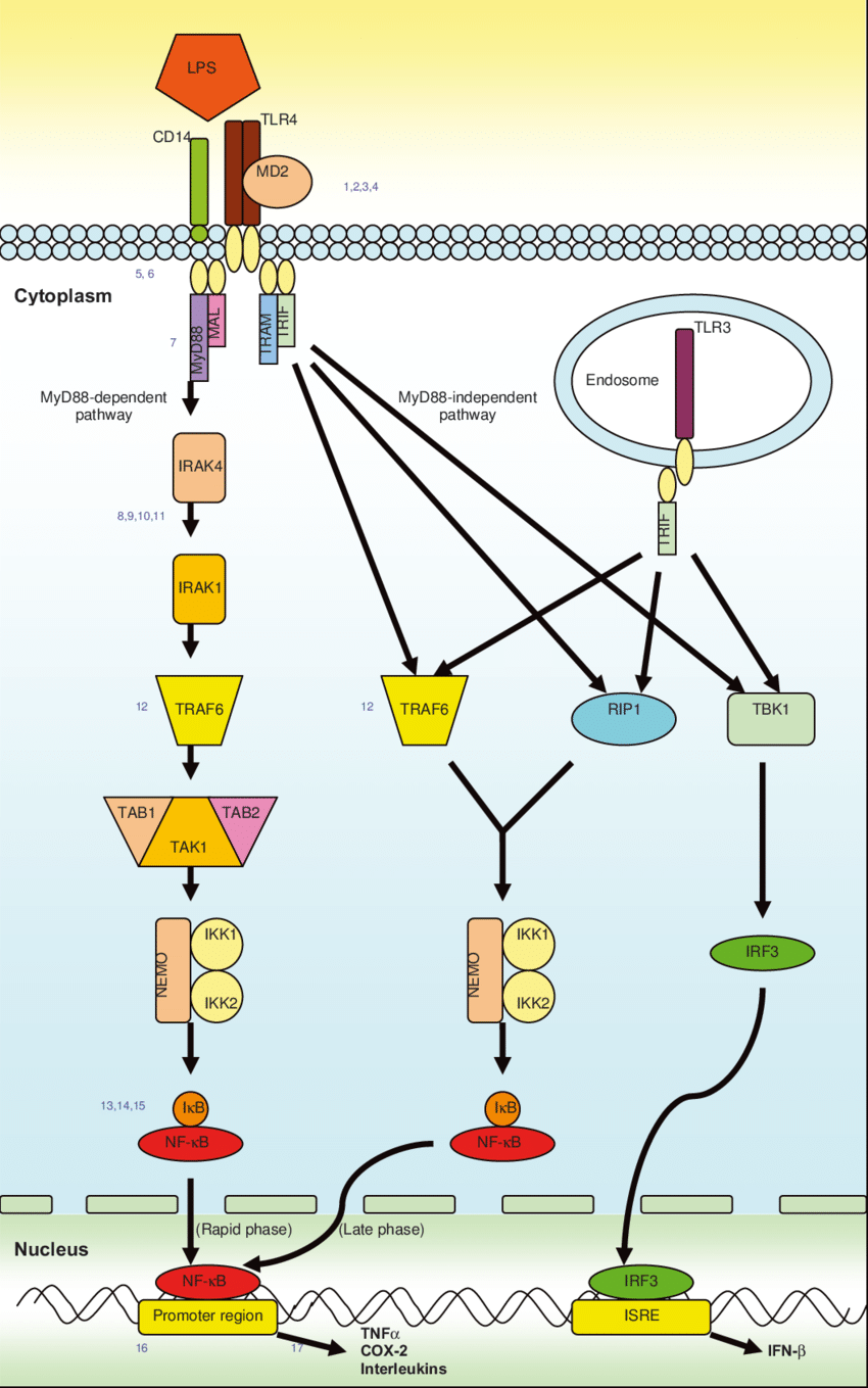 hight resolution of initiation of inflammation through tlrs intracellular signaling through other tlrs uses the myd88