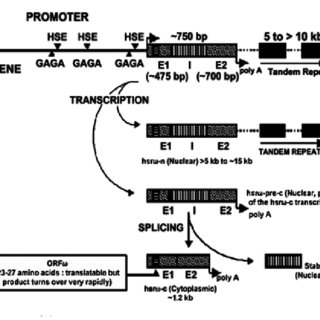 Architecture of the hsrw gene and its transcripts in