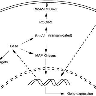 (PDF) Tissue Transglutaminase Mediates Activation of RhoA
