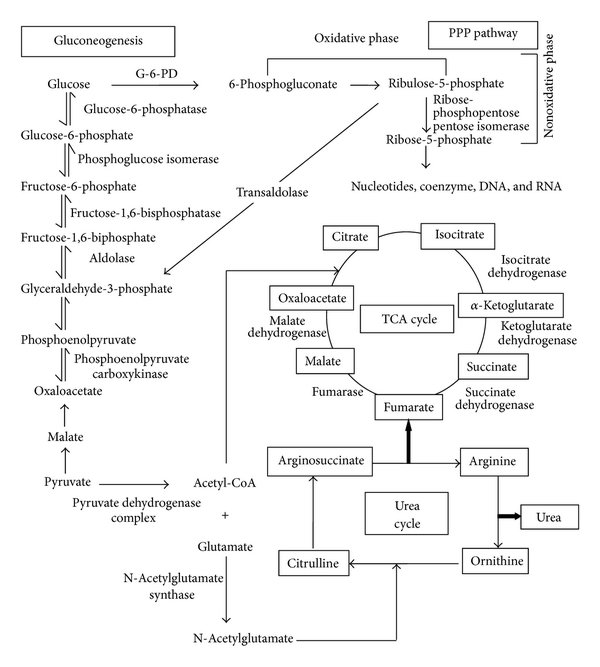 Glycogenolysis Vs Gluconeogenesis Diagram