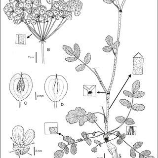 (PDF) Taxonomic revision of the genus Trigonosciadium