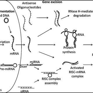 Strategies for in vivo gene transfer. Adenoviral vectors