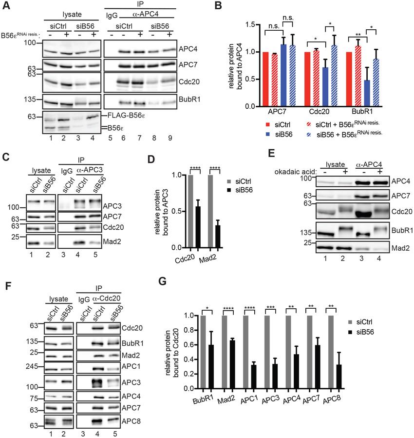 PP2A B56 stimulates Cdc20 association with APC/C. (A-D