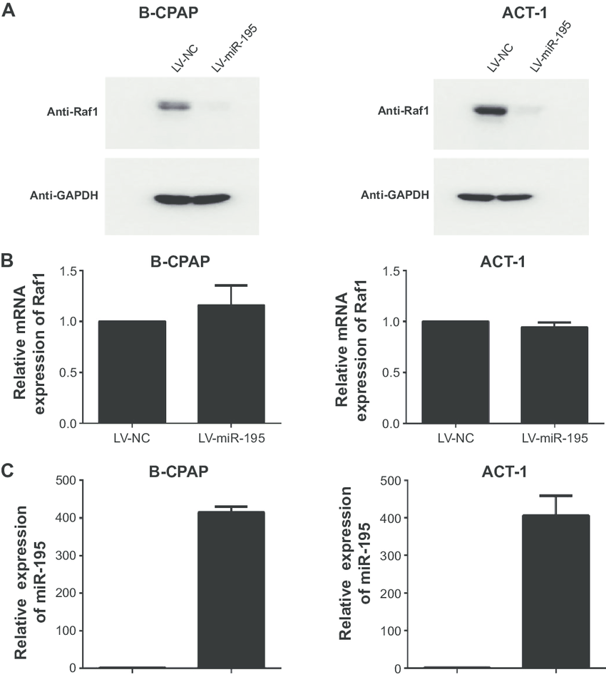 raf1 is a direct target of mir-195 in thyroid cancer cells