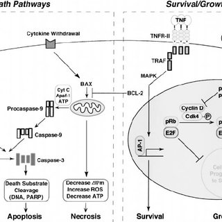 (PDF) Regulation of T cell apoptosis
