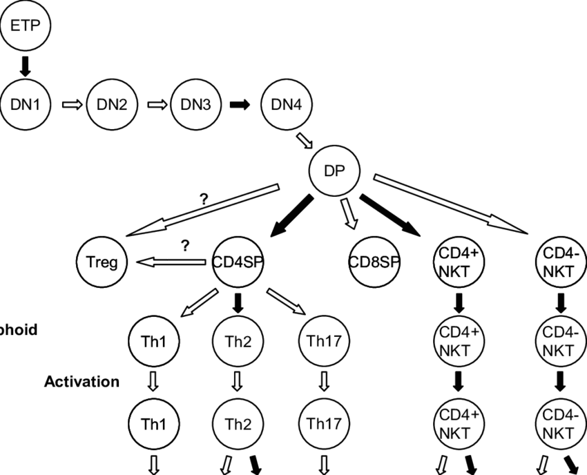 Schematic diagram of the development of T cell lineage