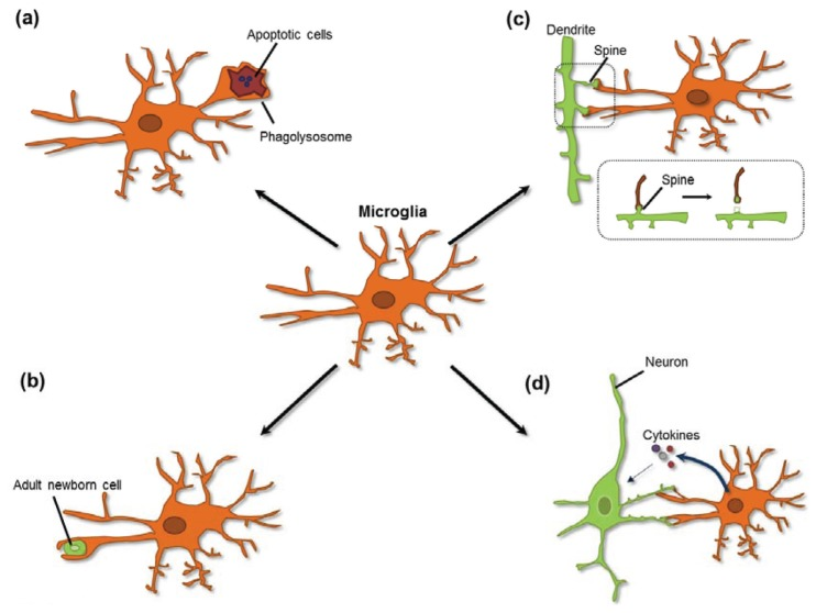 bacterial cell diagram and functions wiring of single phase motor contributions microglia to structural synaptic plasticity (pdf download available)