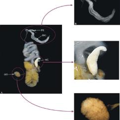 Slug Anatomy Diagram 2016 Dodge Dart Sxt Radio Wiring Of Important Reproductive Organs S Maculata A Download Scientific