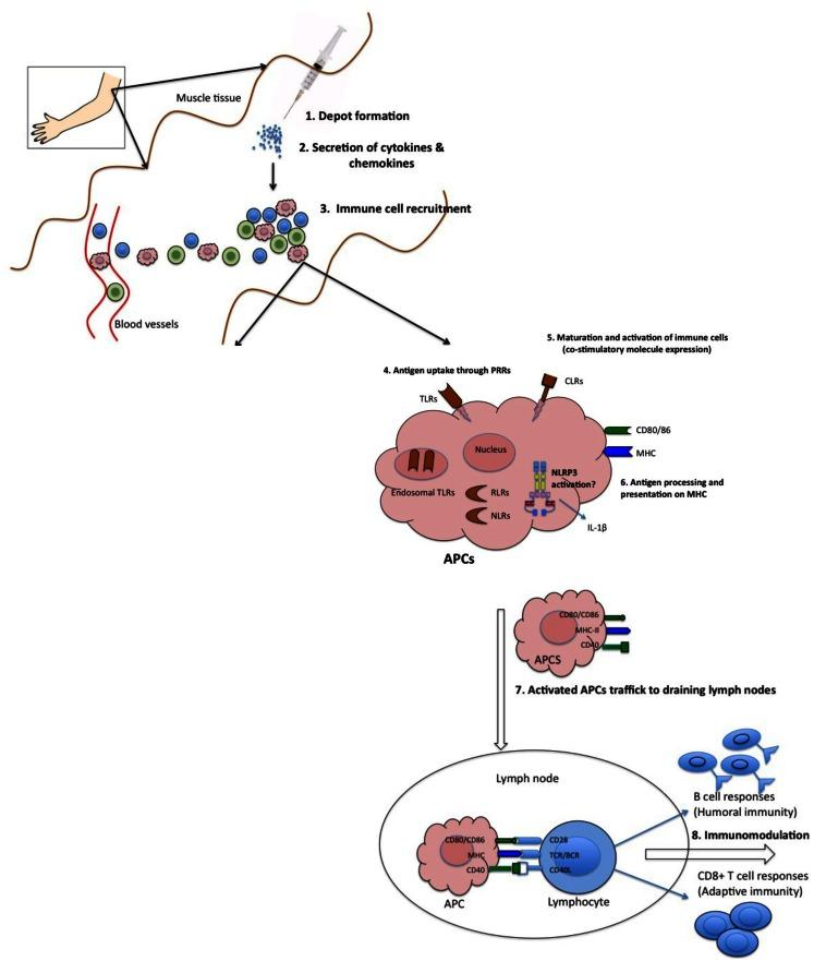 Proposed mechanisms of action of adjuvants. (1) Some adjuvants... | Download Scientific Diagram