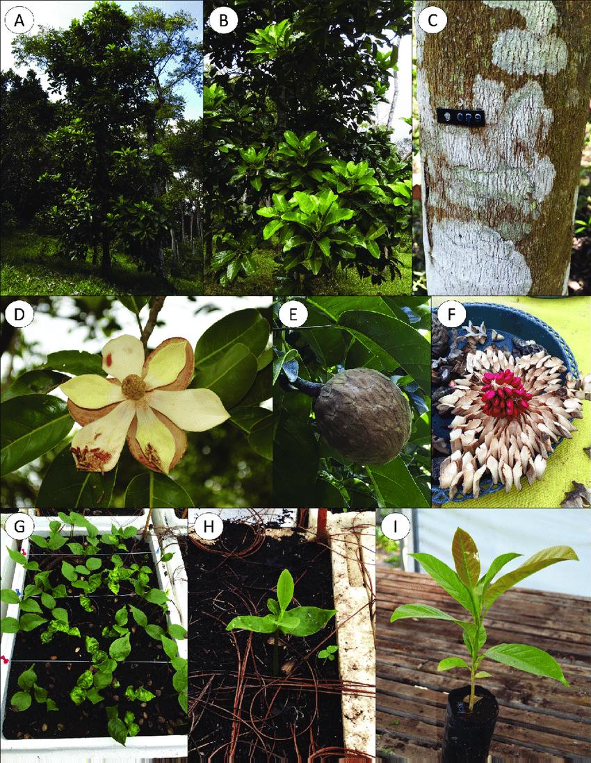 hight resolution of morphological characteristics of magnolia perezfarrerae a mature tree b foliage c