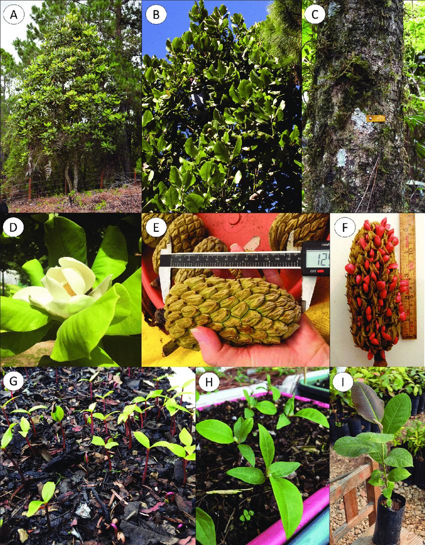 medium resolution of morphological characteristics of magnolia sharpii a mature tree b foliage c