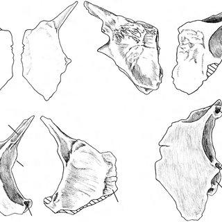 A, B. Pamelina polonica gen. et sp. n., Early Triassic of
