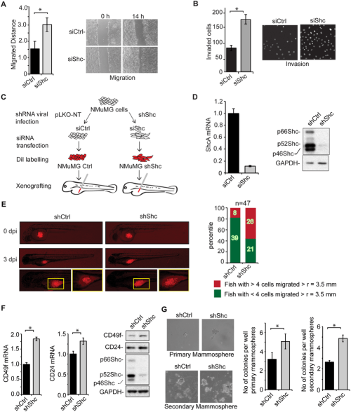 small resolution of shca expression controls emt associated cell behavior a migration of nmumg cells