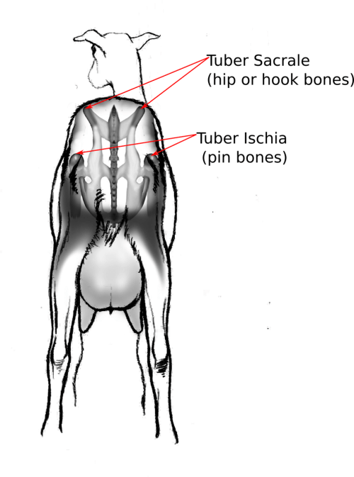 small resolution of rump identification detail on the bone structure of a goat rump showing that hip