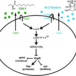 The Vibrio cholerae autoinducer signaling network. The