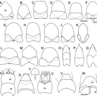 Male internal reproductive organs of Hymenoptera (caudal