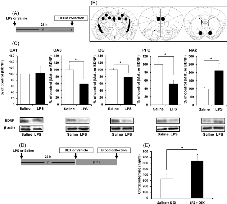 BDNF protein in the brains of control and LPS-treated mice