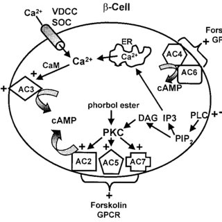 PKC downregulation and AC activity in islets. Islets were