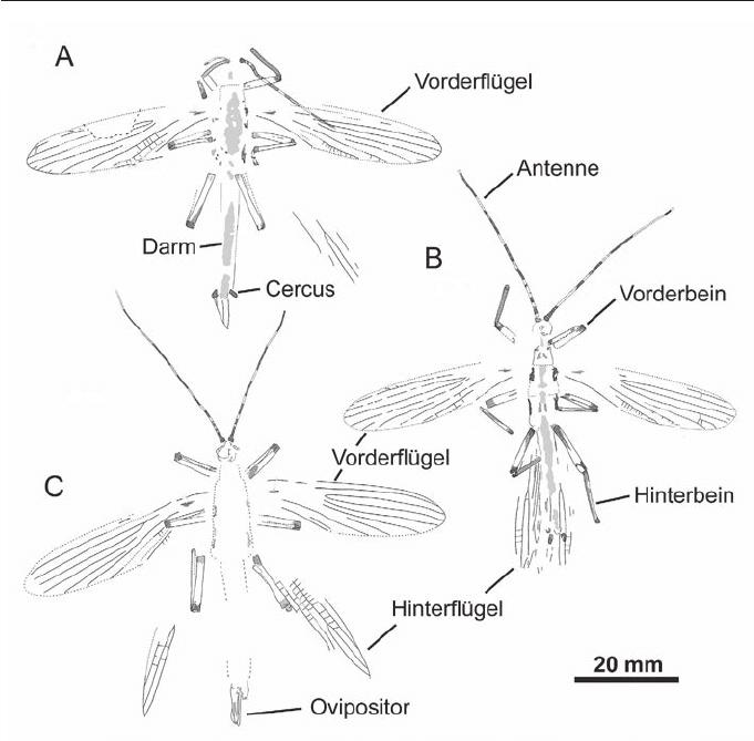 Der Phasmatodea Tree of Life: Überraschendes und