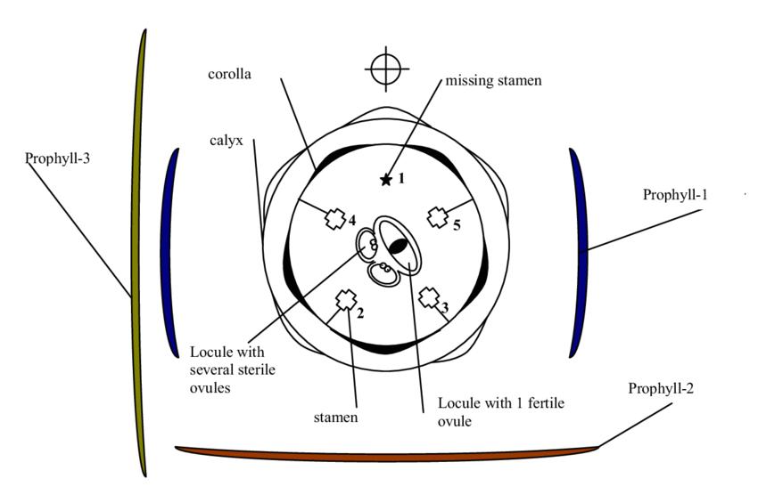 Floral diagram and formula of a Linnaeeae flower. Drawn