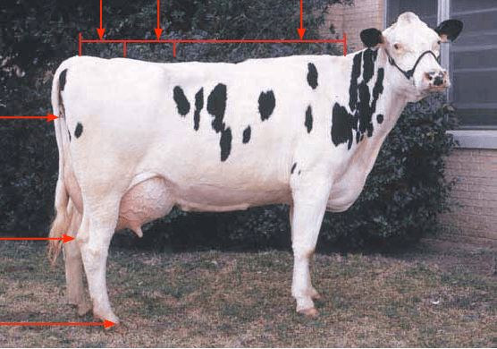 dairy cow parts diagram manual generator transfer switch wiring 1 of the download scientific