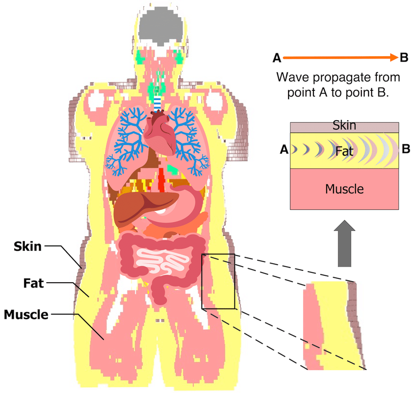 The model shows the fat tissue surrounding the vital ...
