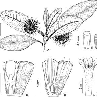 (PDF) A New Species of Gyrostipula (Rubiaceae, Naucleeae
