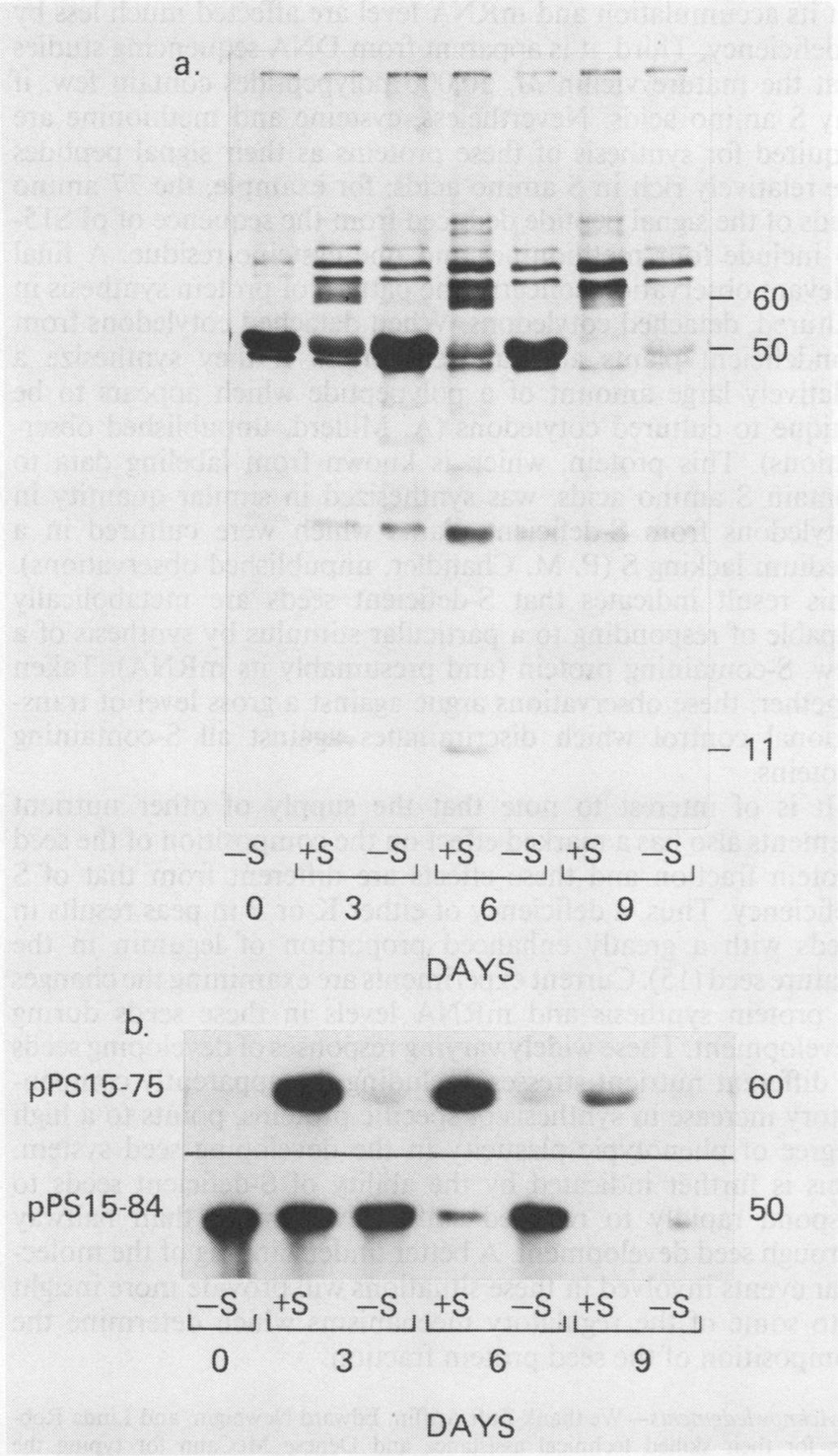 Polypeptide synthesis and mRNA levels in developing pea