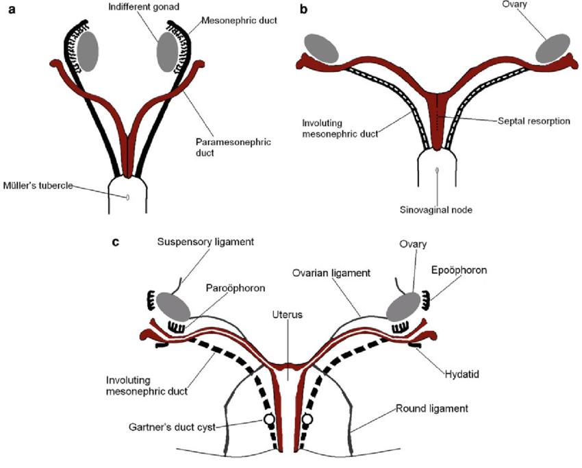 diagram of fetus in uterus