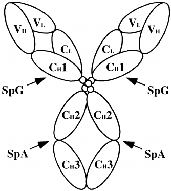 Schematic diagram of interactions between mouse IgG1 and