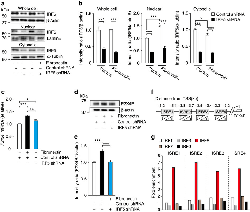 IRF5 is required for fibronectin-mediated upregulation of