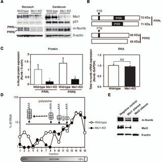After gastric damage, PTB domain-containing m-numb
