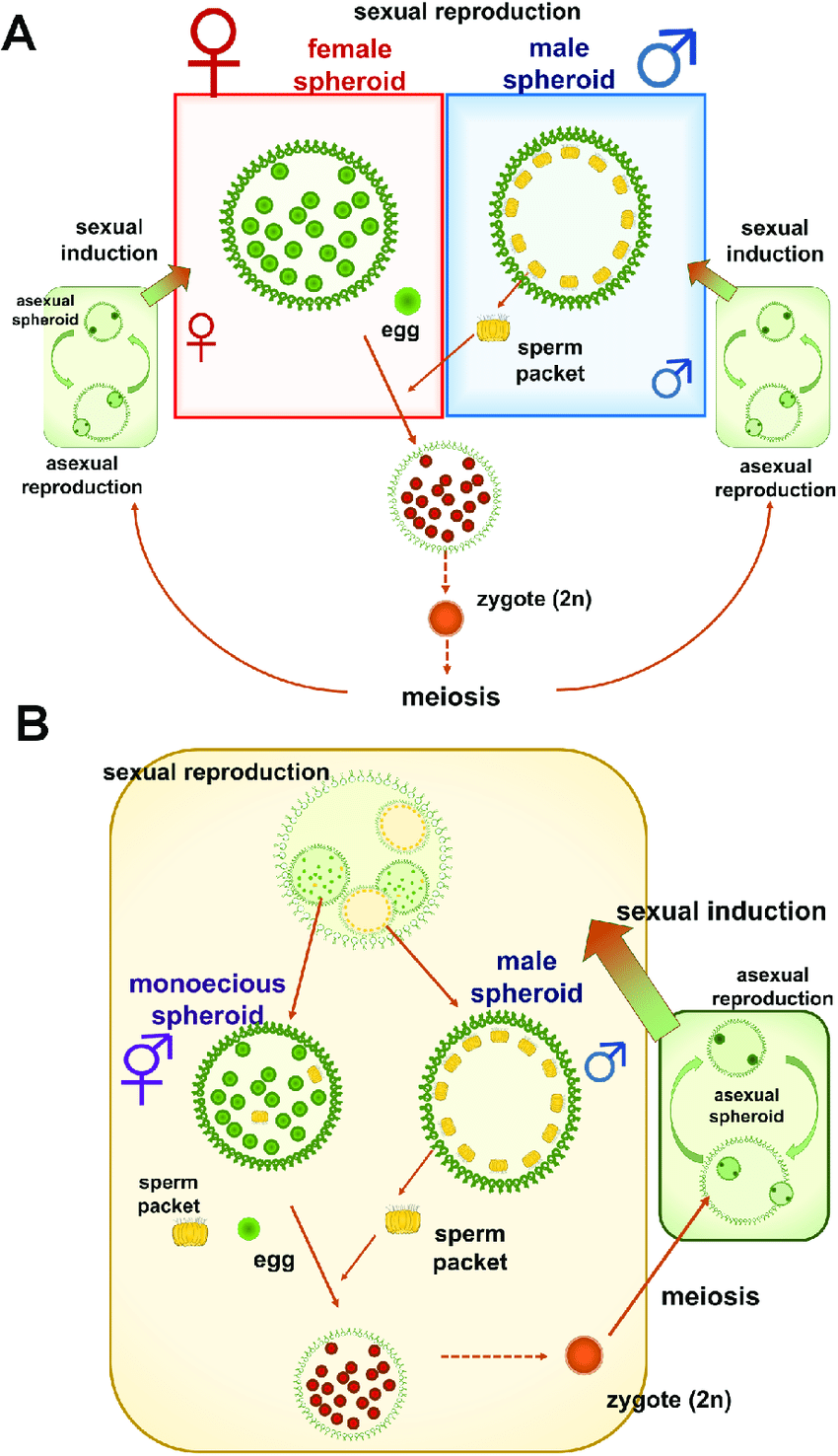 medium resolution of life cycle diagrams for two related species of volvox based on nozaki et al