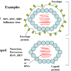 Basic Virus Diagram Toyota Echo Wiring Radio Structure Of Enveloped And Non Viruses Are Composed Capsid Protein Nucleic Acid Dna Or Rna Viz Nucleocapsid