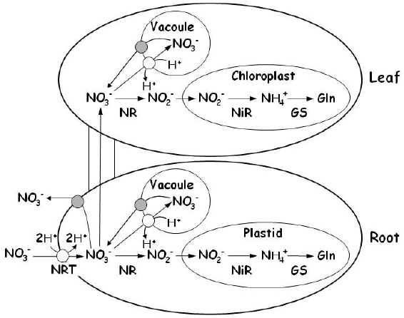 Outline of uptake, transport and assimilation of nitrate