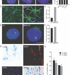asynchronous replication timing and monoallelic expression of gfap after stimulation a representative images of simultaneous gfap dna fish and brdu  [ 850 x 1196 Pixel ]