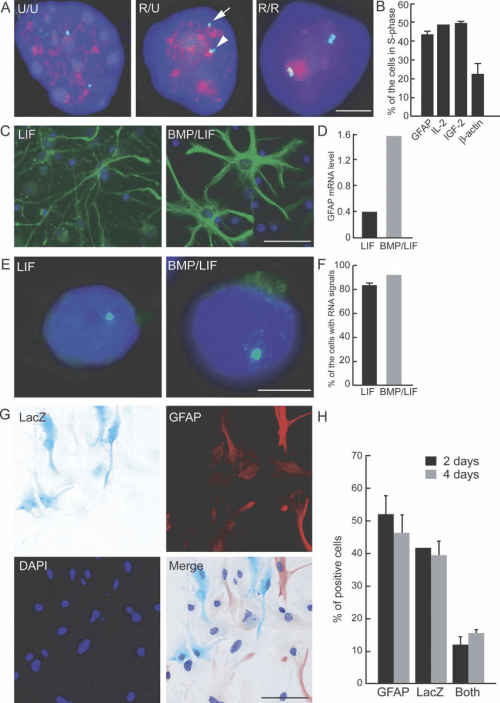 small resolution of asynchronous replication timing and monoallelic expression of gfap after stimulation a representative images of simultaneous gfap dna fish and brdu