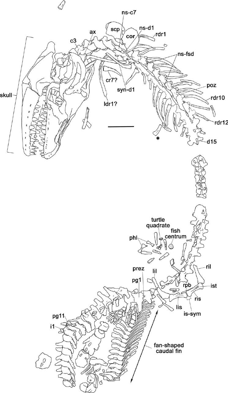 medium resolution of tmp 2007 034 0001 prognathodon overtoni line drawing of whole lobster body parts lobster skeleton diagram
