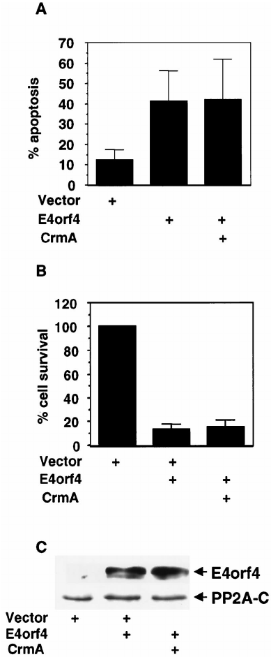 CrmA does not inhibit E4orf4-induced nuclear condensation