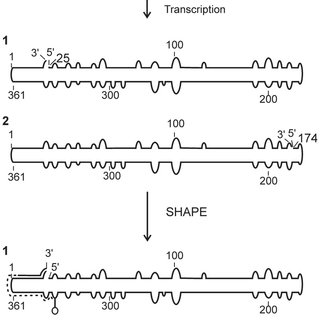 The final structural models for ASSVd (A), PBCVd (B) and