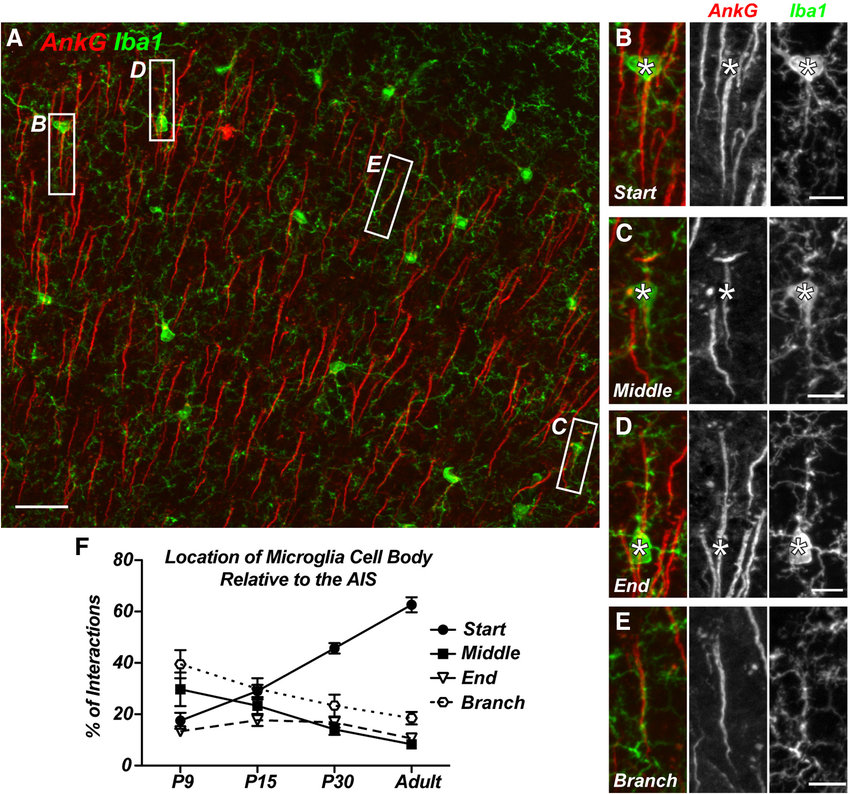 AIS-associated microglial cell bodies are preferentially ...