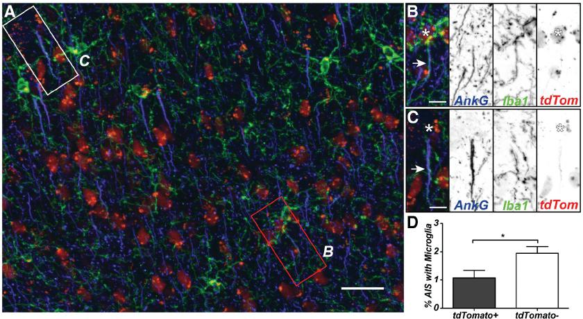 AXIS microglia preferentially interact with non-GABAergic ...