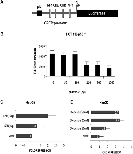 DNA damage induced p53 downregulates Cdc20 by direct