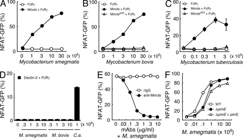 Mincle recognizes mycobacterial species. (A–C) NFAT-GFP