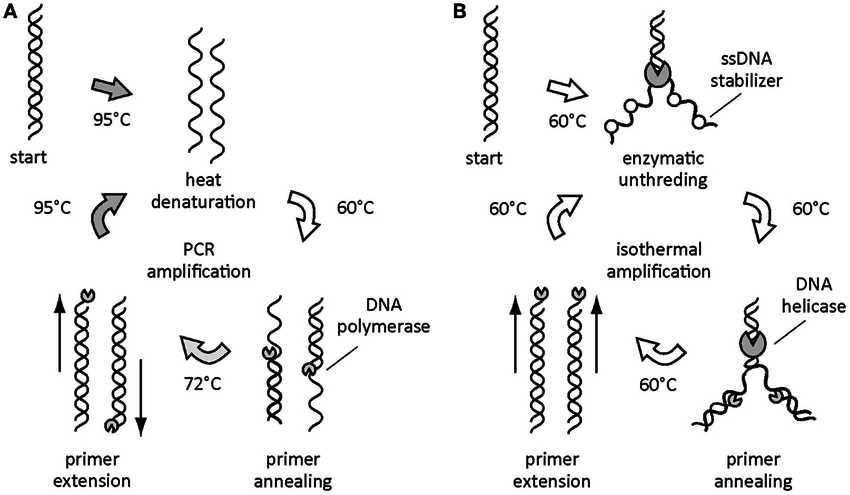 Thermal and isothermal DNA amplifications. DNA