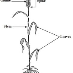 Flower Parts Diagram Without Labels Database Visual Studio 2013 Wheat Plant Wiring Data
