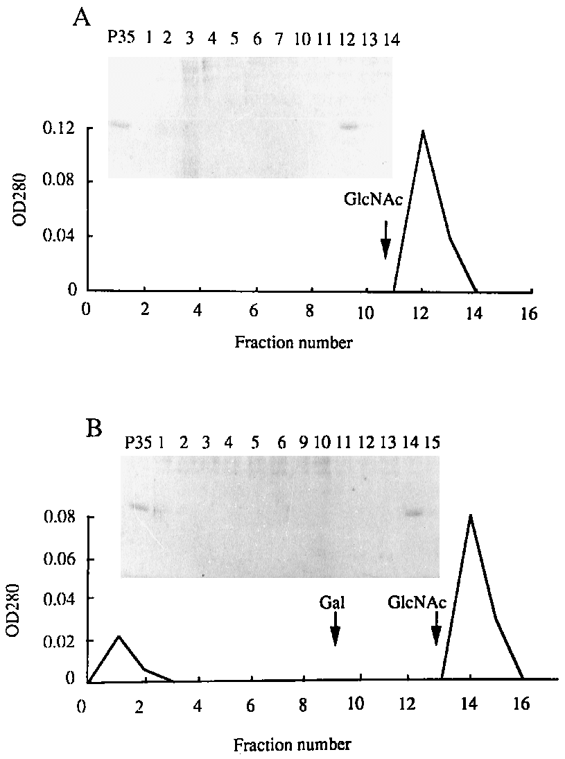 medium resolution of p35 binding to glcnac agarose or asialofetuin sepharose one milliliter of p35