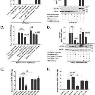 Schematics of exosome mediated HCV transmission and