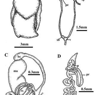 Internal anatomy of Philine dentiphallus sp. nov