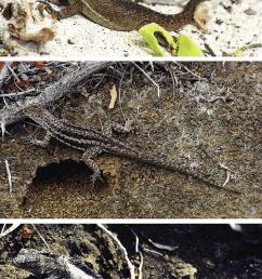 gal pagos iguanid lizards a hood island lava lizard female download scientific diagram [ 675 x 1241 Pixel ]